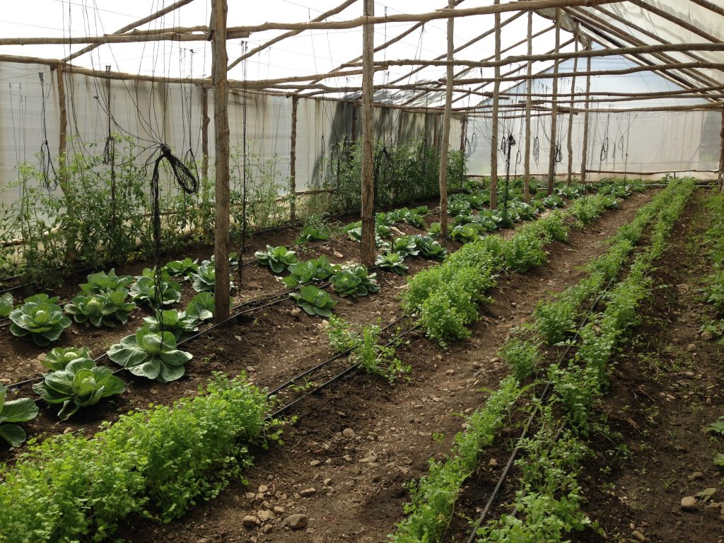 Diversifying produce and practicing crop rotation in a greenhouse setting.