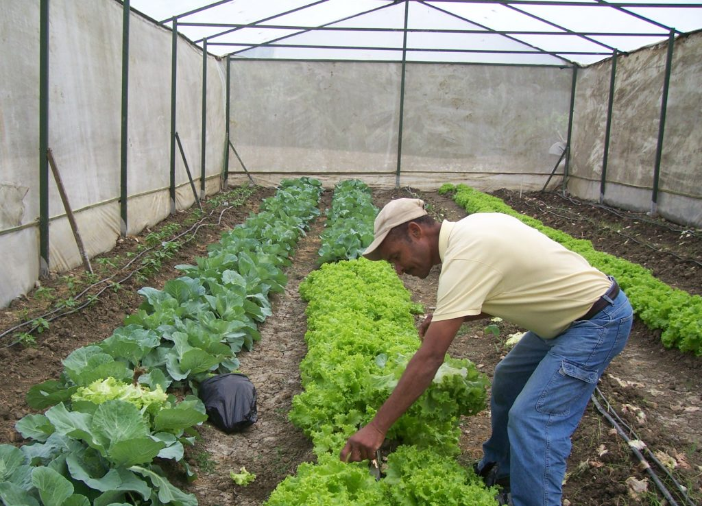 Harvesting cabbage and lettuce in a community greenhouse